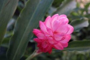 ピンクジンジャー ハワイの花