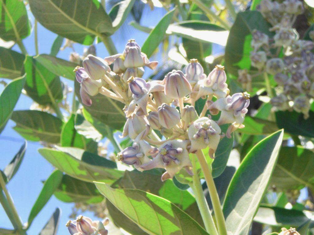 クラウンフラワー(薄紫色)