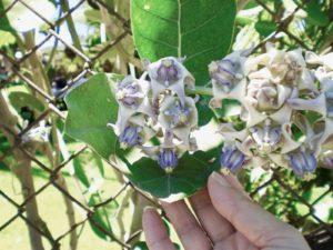 クラウンフラワー(薄紫色