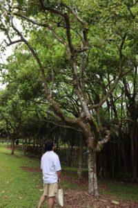 kukui-tree1