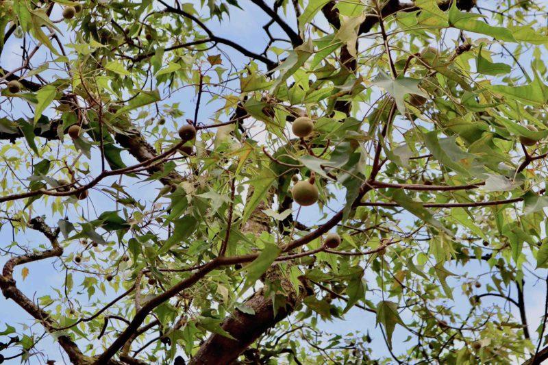 kukui-tree2